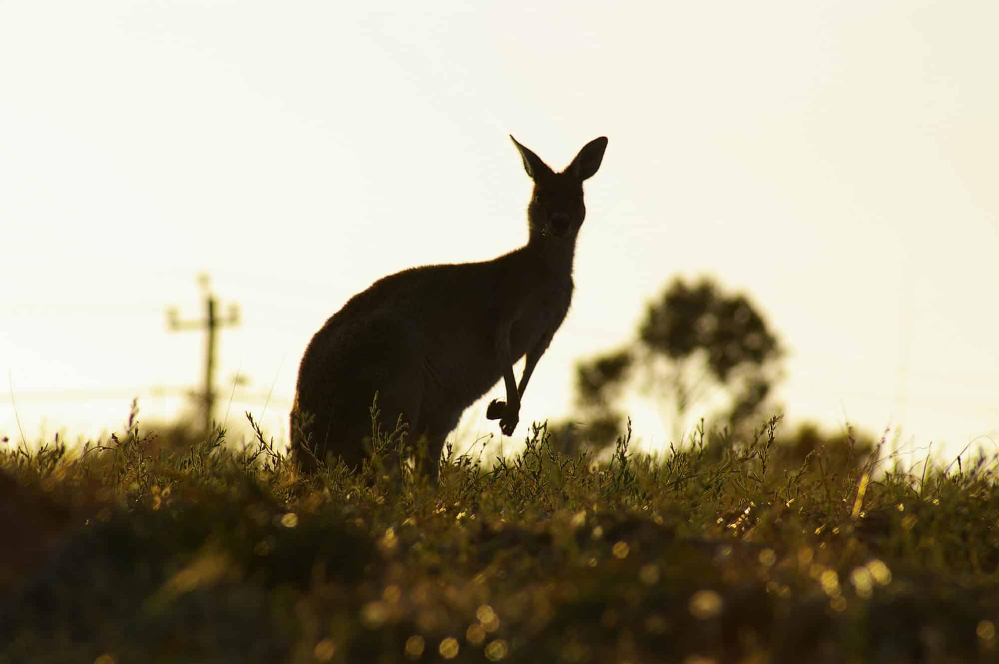 Kangaroos in Mandurah