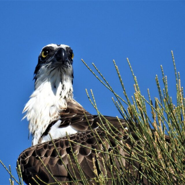 Today is National Wildlife Day. So let's celebrate by posting lots of pics of our beautiful FREE nature and wildlife in #Mandurah.Photo of osprey taken by Karyn Ellis#visitmandurah #seePerth #wanderoutyonder #thisisWA #adventureawaits #perthisok #soperth #helloperth #osprey #birdphotography #birdwatching