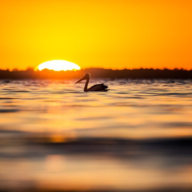Another beautiful day in #Mandurah comes to an end.📷 @lesimgrund#visitmandurah #seePerth #thisisWA #wanderoutyonder #adventureawaits #helloperth #soperth #perthisok #birdwatching #birdlife #pelican #sunsets