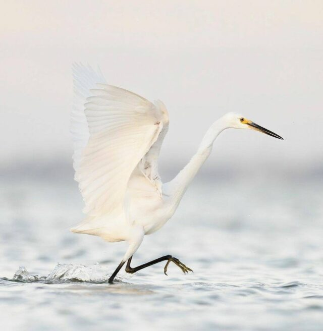 Check out Mandurah's dancing Egret.   📸 @vik_d_photography snapped this incredible shot while the Egret was fishing.  #relaxedbynature #mandurahmoment #wanderoutyonder #naturelover #egretsofinstagram #perthnow #perthisok #birdwatchers  #visitmandurah